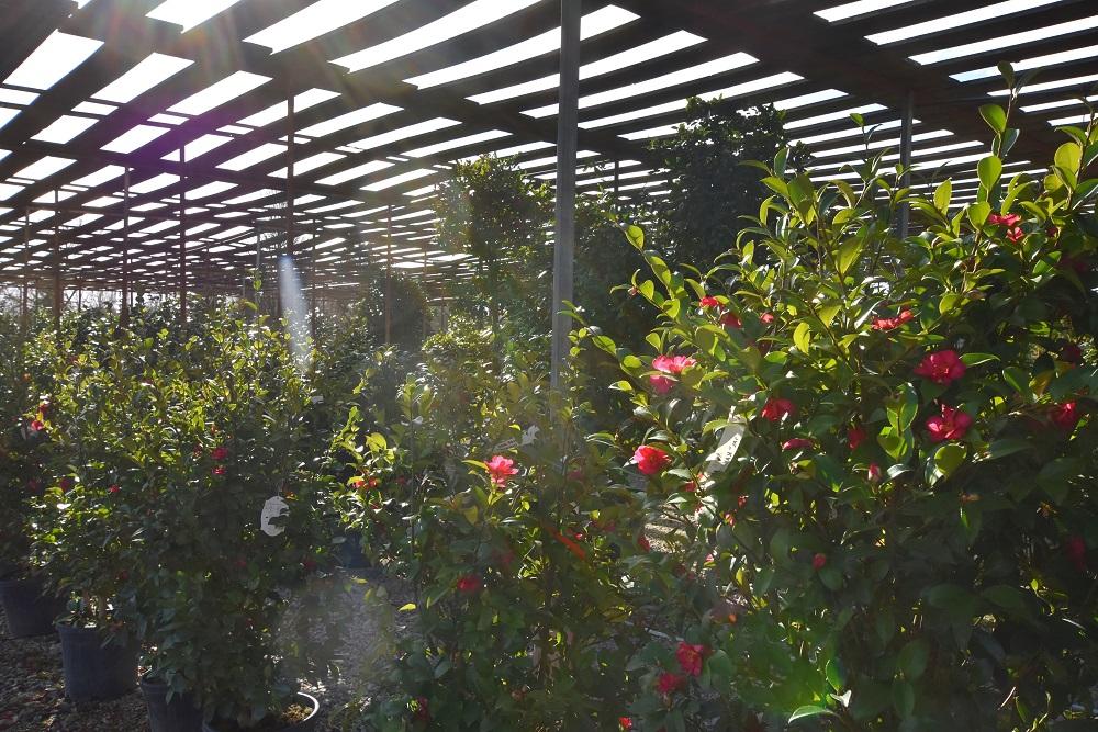 JACQUET SA - LA PEPINIERE - Arbustes
